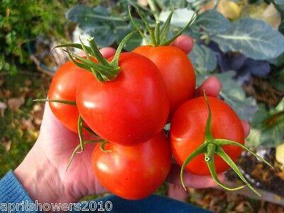 Tomato Siberian Heirloom Early 20+ Certified Organic Seeds COMBINED SHIPPING