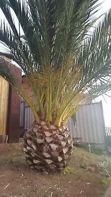 Established Canary Date Palm Tree