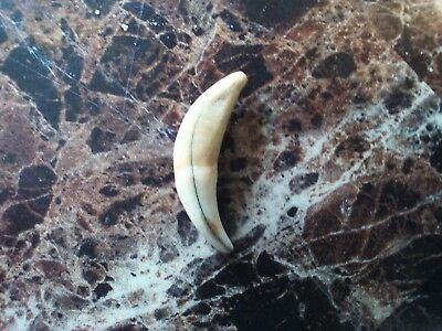 coyote tooth