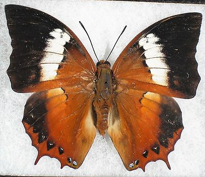 Insect/Butterfly/ Charaxes bupalues - Male 2 3/4""