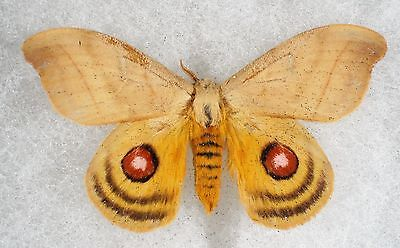 Insect/Moth/ Moth ssp. - Male 2 1/4""