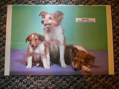 Old Vintage Calendar Picture Print Shelties Shetland Sheepdogs Puppies Old Cars