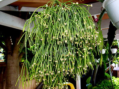 5 x RHIPSALIS CAMPOS PORTOANA CUTTINGS Succulents Succulent Cacti Hanging Plant