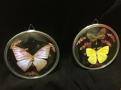 "Pair Of Butterfly Display 5"" Round Glass Convex Frame Wall Hanging Lot Of 2"