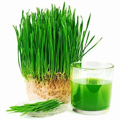 WHEATGRASS -  (500 Seeds) SUPERFOOD FOR JUICING Easy Grow Indoors