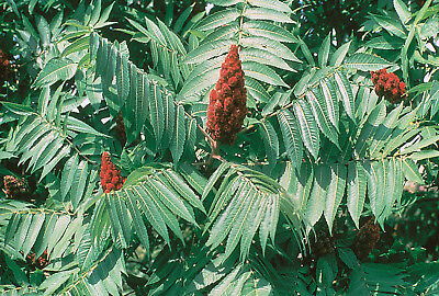Staghorn Sumac Seeds Exotic Red Flower Rare Showy Tree Shrub Garden Plant Seed