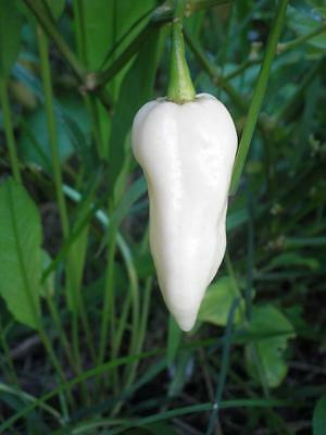 20 White Bhut Jolokia Ghost Pepper Chilli Seeds one of the Worlds Hottest Pepper