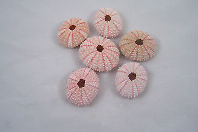 6 Pink Sea Urchin Seashells Shells Beach Wedding Craft Nautical Decor Airplants.