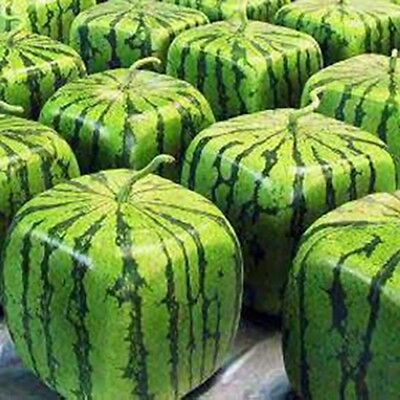 A Package 50 Pieces Seeds Rare Simple Geometric Square Watermelons Seeds Delicio