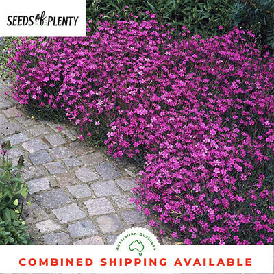 DIANTHUS  - Maiden Pink (1500 Seeds) MAT FORMING GROUNDCOVER Scented Blooms