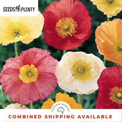 POPPY - Iceland (1500 Seeds) Bright Winter Flowering Perennial