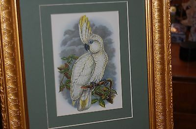 """Double mounted antique print """"Sulphur Crested Cockatoo"""" in antique frame."""