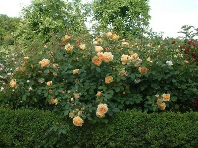 3 Cuttings of Golden Celebration Ausgold Rose Ready To Root Make Your Own Plants