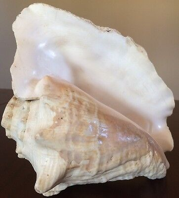 """Vintage Large Queen Conch Sea Shell 9.25""""x7""""x4.75"""" Pink Natural Beach Decor"""