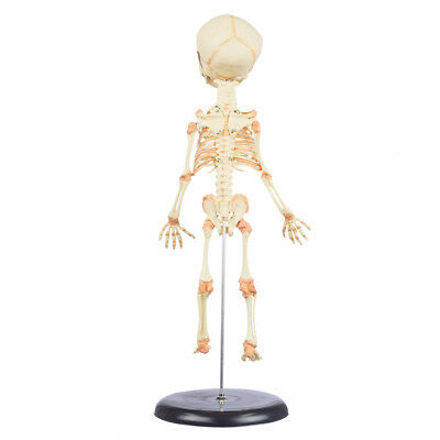 Fetal Skeleton with Stand