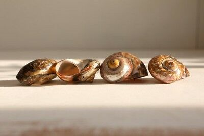 Copper Turbo sea Shells - Mother of Pearl - Natural Polished Sea shells -