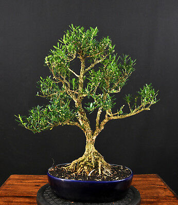 goldl rche bonsai waldform 10 jahre 50cm h he eur 20. Black Bedroom Furniture Sets. Home Design Ideas