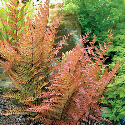 1 Dryopteris erythrosa AGM Stunning Japanese Copper The Best shield fern plant