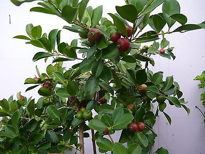 1 GUAVA PLANT~RED GUAVA FRUIT ~ Small & Round with Red Skin