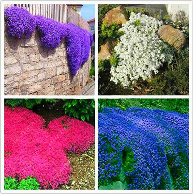 100pcs/bag Creeping Thyme or Blue ROCK CRESS Seeds-Perennial Ground Cover Flower