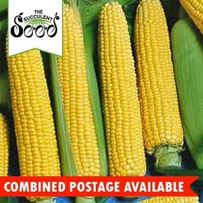 SWEET CORN - Golden Bantam (60 Seeds) SUPER SWEET VARIETY Popular Heirloom BULK