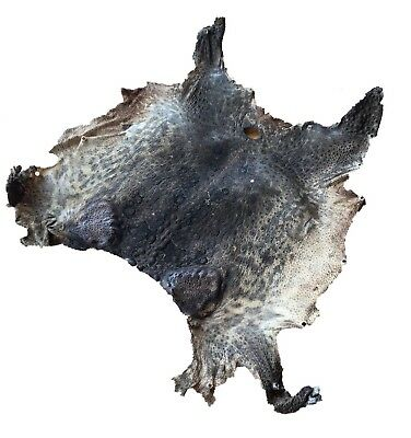 GENUINE QUEENSLAND TOAD SKIN! *located In Melbourne* Taxidermy Animal Rug Cool
