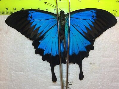 IND07 A+/ A  Papilio ulysses Beautiful Bright Blue Jumbo