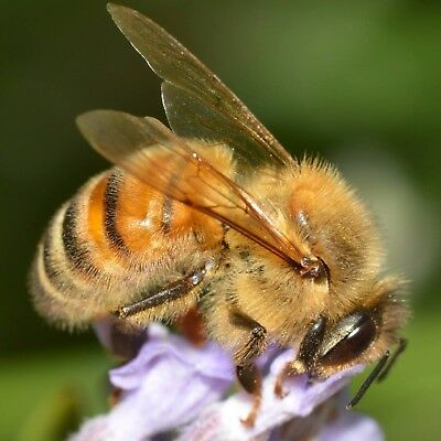 A2 Stunning Honeybee Photography Insect Nature Printed Canvas Wall Hanging
