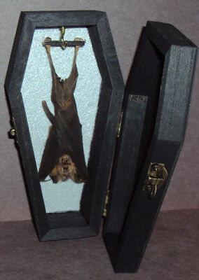 Real Hanging Bat in Black Wooden Coffin! Gothic Halloween Taxidermy Pet
