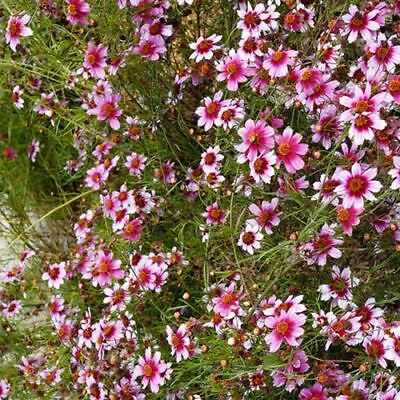 COREOPSIS SWEET DREAMS hard to find perennial