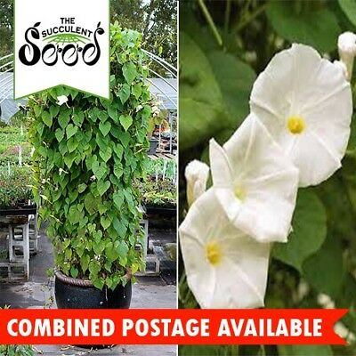 MORNING GLORY - White (10 Seeds) Vines & Climbers BULK Heirloom MOONFLOWER