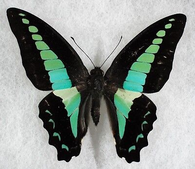 """Insect/Butterfly/ Graphium sarpedon sarpedon - Male 3"""""""
