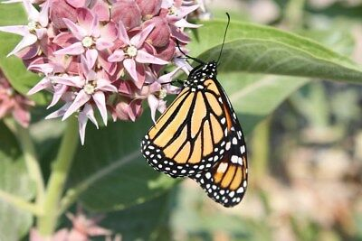 Organic Common Milkweed (50 seeds/bag) Great for MONARCH conservation.