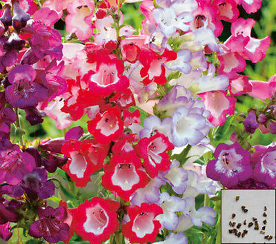BEARDTONGUE - PENSTEMON - Sensation mix - 600 seeds - PERENNIAL FLOWER #620
