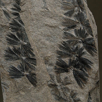 PLANT FOSSIL - Annularia sp. - Carboniferous - FRANCE
