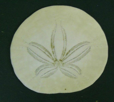"""1.5"""" Authentic Sand Dollar from the Pacific Ocean Coast of Washington State"""
