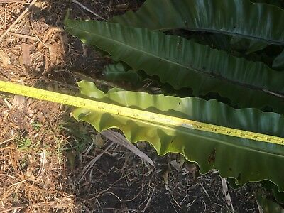 Birds Nest Fern: Nearly 3 Metre Span: with 130cm Fronds.