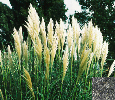 PAMPAS GRASS - WHITE FEATHER - Cortaderia selloana - 200 seeds PERENNIAL #633