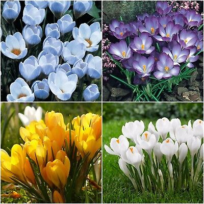 50 Crocus Sativus SAFFRON Autumn Flowering bulbs