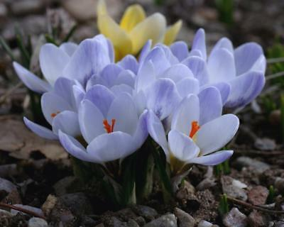25 Crocus Sativus SAFFRON Autumn Flowering bulbs