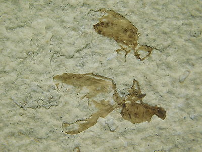 TWO! 100% NATURAL 50 Million Year Old Insect Fossil Bee's From Wyoming 114gr
