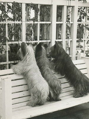 Vintage Photo~Three Skye Terrier Dog Dogs Looking in Window~ NEW Lge Note Cards
