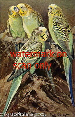 Antique Art~Specht~ Four Green & Yellow Parakeets~Budgerigars~NEW Lge Note Cards