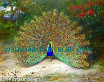 1917 Thorburn~ Colorful Peacock in Full Plumage Display~NEW Large Note Cards