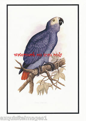 Antique Art~African Gray Parrot~ NEW Large Note Cards