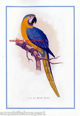 Antique Art~Blue & Gold Macaw Parrot~NEW Lge Note Cards