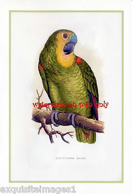 Antique Art~Blue Fronted Amazon Parrot~NEW Note Cards