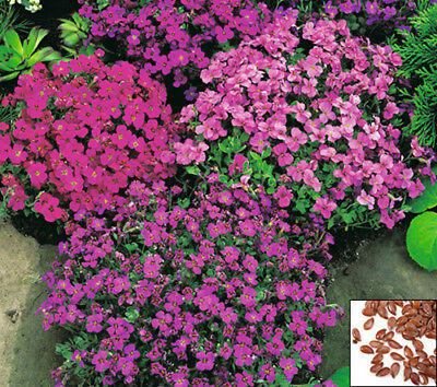 ROCK CRESS CASCADE MIX - 450 SEEDS - Aubrieta cultorum hyb.- ROCKERY FLOWE#647#4