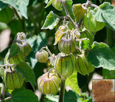 CAPE GOOSEBERRY - 220 seeds - Physalis peruviana #651#3