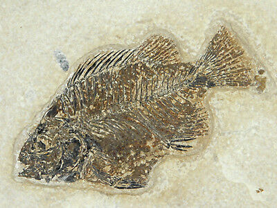 A Nice 50 Million Year Old! Priscacara Fish Fossil on Huge Matrix Wyo 2395gr e